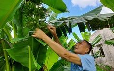 Nhà vườn lao đao vượt khó - Kỳ 3: Bỏ cây bạc tỉ, chọn cây an toàn