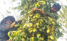 13 doanh nghiệp kêu cứu Thủ tướng vì 58 container tiêu mắc kẹt tại Nepal, Ấn Độ