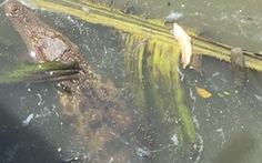 Chú cá sấu 'nhí' 4kg trên đoạn kênh Tẻ ở phường 3, quận 4 đã bị 'mời vô trại'
