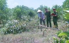 Tạm giữ 3 nghi phạm chặt hơn 700 cây keo vì không được chăn thả bò