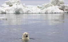 Gấu Bắc Cực sắp biến mất vĩnh viễn khỏi Trái đất