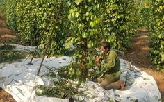 Vụ hồ tiêu mắc kẹt tại Nepal: Doanh nghiệp lo hàng bị bán đấu giá