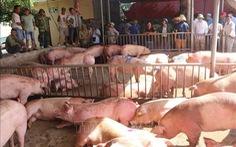 Người chăn nuôi Thái Lan đồng ý xóa khâu trung gian để hạ giá thịt lợn
