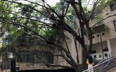 Đây thật sự là một cây di sản, phải bảo tồn