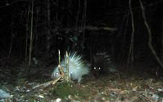 Nhím trắng chưa từng thấy ở rừng Đông Nam Á mò tìm ăn ở Vườn quốc gia Bidoup - Núi Bà