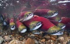 Lượng cá di cư toàn cầu giảm mạnh trong 50 năm qua