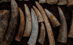 Singapore tiêu hủy 9 tấn ngà voi bằng nghiền nát và thiêu rụi