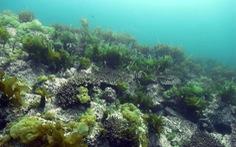 San hô xâm lấn các thảm rong biển ở Nhật Bản