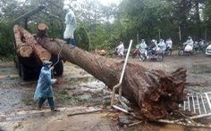 Cây xanh bị gió quật đổ khắp Đà Lạt do ảnh hưởng bão số 2