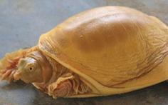 Rùa vàng cực hiếm, thế giới mới gặp 5 con