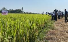 Quảng Bình lai tạo được giống lúa Phong Nha 99 ngon, năng suất cao