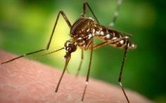 Tiểu bang Mỹ thả 750 triệu con muỗi đực biến đổi gen để diệt muỗi cái