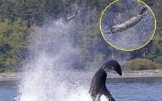 Bị cá voi sát thủ hất tung lên cao 13m, hải cẩu vẫn may mắn thoát được