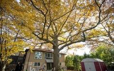 Canada tìm cách cứu cây sồi 300 tuổi 'già' hơn cả nước này
