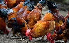 Hơn 1.000 gia cầm ở Trà Vinh bị dịch cúm H5N1