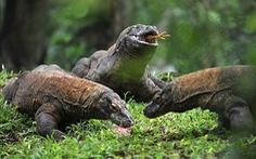 Indonesia hạn chế số khách du lịch tham quan đảo rồng Komodo