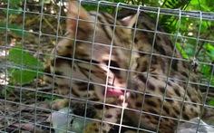 Kiểm tra vụ nghi bắt 'mèo rừng' rồi đăng Facebook rao bán