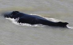 Cá voi lưng gù bơi lạc vào sông đầy... cá sấu