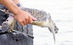Một người dân bỏ tiền túi mua đồi mồi quý hiếm thả về biển