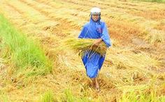 Nông dân hối hả gặt lúa sớm, phố cổ đốn bớt cây tránh bão