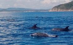 Đàn cá heo trên 200 con 'nhảy múa' ở biển Phú Yên