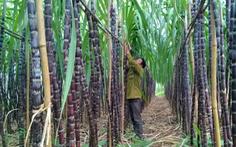 Việt Nam điều tra kép mía đường nhập khẩu từ Thái Lan