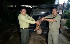 Người dân đuổi bắt con tê tê 10kg giao kiểm lâm thả về rừng