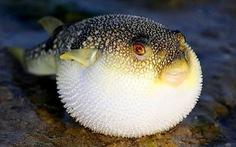 Đà Nẵng cho phép thí điểm khai thác xuất khẩu cá nóc