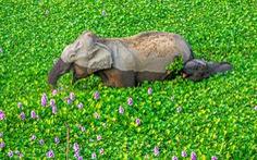 Ảnh động vật vui nhộn: Sư tử 'tám' chuyện, mẹ con voi cười tít mắt giữa đầm hoa