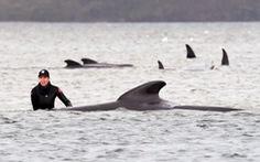 Úc an tử cá voi mắc cạn, tìm cách xử trí gần 400 xác cá chết