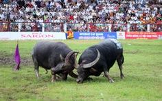 Lễ hội chọi trâu Đồ Sơn 2020 phải tạm dừng vì dịch COVID-19