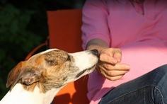 Dùng chó phát hiện người nhiễm COVID-19 rất hiệu quả