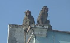 Dự kiến gây mê để bắt đàn khỉ 'đại náo' khu dân cư ở quận 12