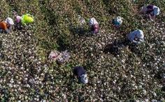 Mỹ cấm toàn bộ bông có nguồn gốc Tân Cương, nguy cơ ảnh hưởng chuỗi dệt may
