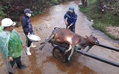 Một huyện miền Trung có hơn 900 con trâu, bò, dê chết vì giá lạnh