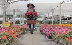 Người trồng hoa tết ở Quảng Nam phấn khởi vì được mùa, được giá