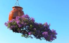 Ông vua của cây bonsai ngược