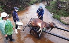 Một huyện có 900 trâu bò chết rét, bà con lo mất tết