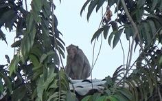 Người dân TP.HCM nơi đàn khỉ 'đại náo': Mong chúng được đoàn tụ nơi rừng xanh