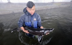 Phó thủ tướng yêu cầu xử lý nghiêm việc tiếp tay cho cá tầm 'lậu' vào Việt Nam