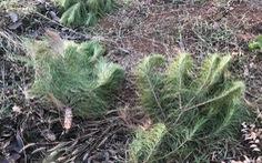 Thông non vừa trồng sau khi bị đầu độc ven quốc lộ 14 lại bị chặt phá