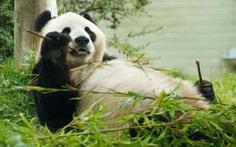 Sở thú Anh tính trả gấu trúc thuê triệu đô cho Trung Quốc vì hết tiền