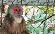 Khỉ mặt đỏ quý hiếm 'đại náo' khu dân cư