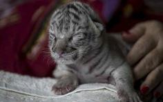 Hổ trắng hiếm có chào đời tại vườn thú Nicaragua