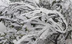 Băng giá phủ trắng cây cỏ trên đỉnh Cao Ly tại Quảng Ninh