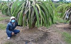 Dân trồng thanh long khổ sở vì nước từ mỏ đá Chóp Vung tràn ra ngập úng