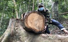 Cây dổi, thông nàng đường kính cả mét trong rừng phòng hộ bị lâm tặc đốn hạ