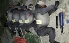 5 con voọc chà vá chân xám nằm trong sách đỏ thế giới bị bắn chết