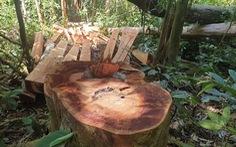 Điều tra, xử nghiêm vụ phá rừng tự nhiên ở Bắc Trà My