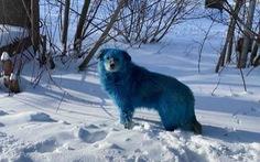 Bầy chó màu xanh gây sửng sốt ở Nga